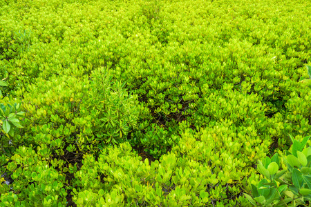 abundant: Abundant mangrove forest. They are found in Chumphon province, Southern Thailand.