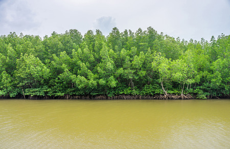 abundant: Abundant mangrove and swamp forest in brackish river. Mangrove plants are found in Chumphon province, Southern Thailand.