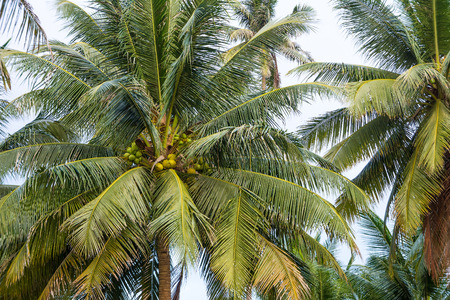nucifera: Coconut tree with coconut fruits in a garden. Cocos nucifera is a member of the palm family.