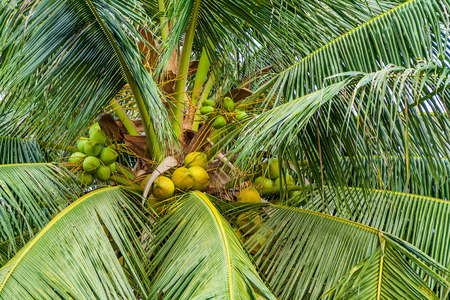 cocos nucifera: Palm tree with coconut fruits in a garden. Cocos nucifera is a member of the palm family. Stock Photo