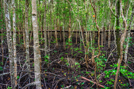 abundant: Wooden walkway in abundant mangrove forest in Thailand. For nature walks to study coastal plants and animals.