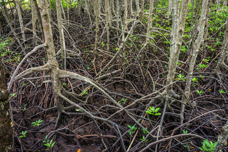 abundant: Aerial roots of abundant mangrove swamp forest. Mangrove plants are found in Chumphon province, Southern Thailand.
