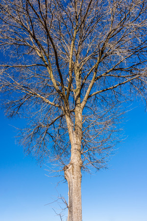 standalone: Skeleton tree with blue sky in background. The tree in winter season.
