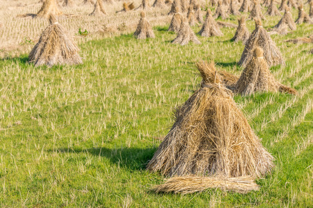 Rice straw hay in field residues. The rice field in Japan, Asia.