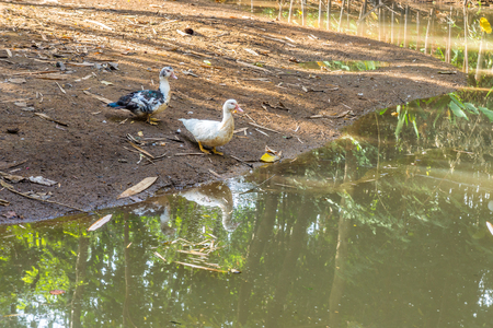 domestication: Couple of ducks nearby pond in a farm. One is black and white, one is pure white.