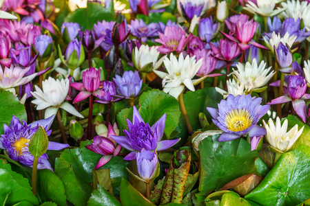 nymphaeaceae: Colorful Nymphaea plant for sale in Thailand. These aquatic plants are know commonly as water lilies Stock Photo