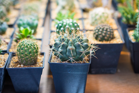 Closeup shot of  Cactus in small plastic flowerpots with empty space. They are for sale in Thailand.