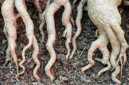 sabi star: Sap roots and stems of Adenium obesum. It is a popular houseplant and bonsai.