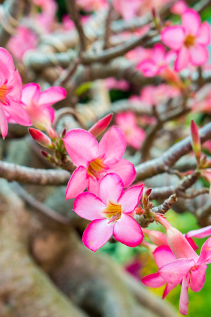 obesum: Red and pink flowers of Adenium obesum a species of flowering plant. It is a popular houseplant and bonsai.