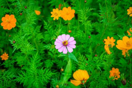 Alone purple zinnia elegans flower in orange cosmos sulphureus garden. It is an annual flowering plant. Stock Photo
