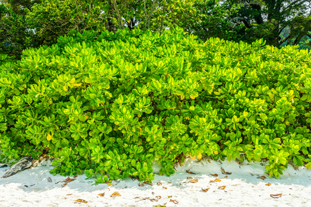 barringtonia: Sea fish poison tree on sand beach. The scientific binomial name is Barringtonia asiatica. Stock Photo