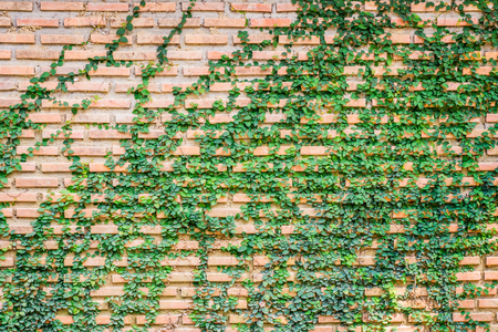 Ficus pumila on brick wall. The plant is also called creeping or climbing fig. Stock Photo