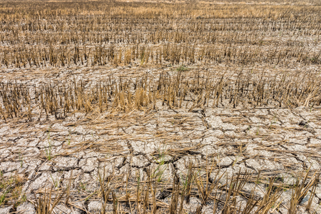 Rice fields with cracks in dry earth during the long drought. Because of the lack of water in agricultural area.