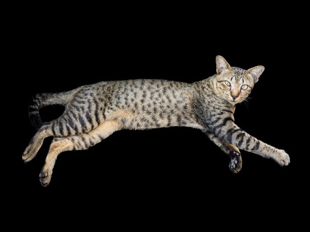 lies down: Thai cat lies down on ones side and looks at photographer. It is isolated on black background.