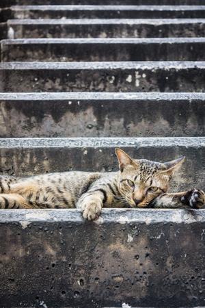 lies down: Thai cat lies down on a step. It rest on concrete staircase.