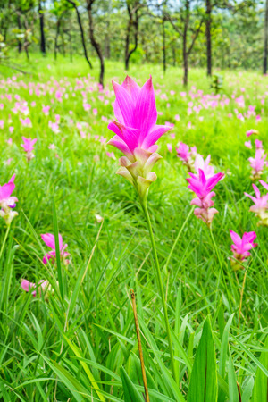 Pink Curcuma sessilis flowers in a jungle. It is also known as Siamese Tulip in Thailand.