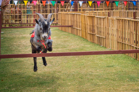 pygmy goat: The willful goat is jumping in goat race. It is a domestic animal. Stock Photo