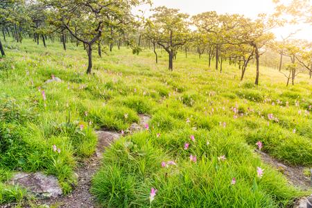 ウコン sessilis の花丘の上のフィールド。タイでアジアの熱帯サバンナ林があります。 写真素材