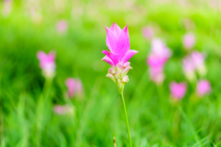 Pink Curcuma sessilis flowers in a field. It is also known as Siamese Tulip in Thailand.