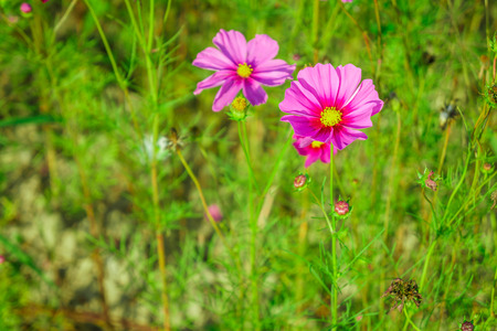Pink Cosmos plant with buds in a flower field. It is a flowering plant.