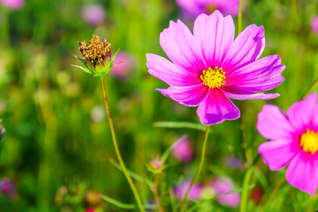 Wilted and blooming Cosmos flowers in a field. It is a flowering plant.
