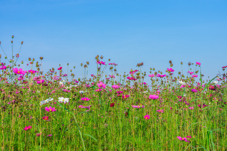 Cosmos flower field with empty blue sky. It is a flowering plant.