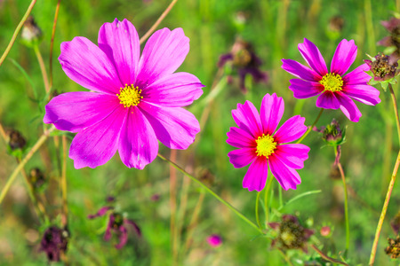 Closeup of pink Cosmos flower in a field. It is a flowering plant.