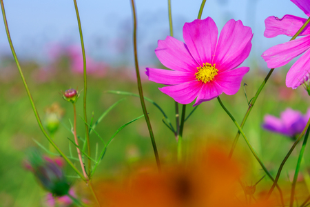 Pink Cosmos plant in a flower field. It is a flowering plant.