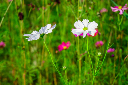 White Cosmos plant with bud in a flower field. It is a flowering plant. Stock Photo