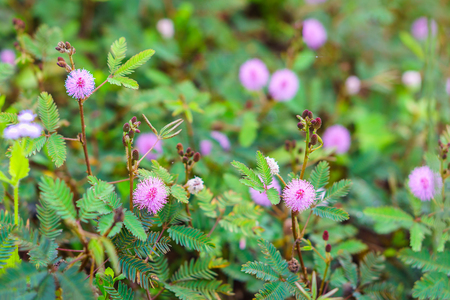 bashful: Field of Mimosa pudica flower from Thailand, Southeast Asia. It is also called sensitive, sleepy, humble, shameplant, Dormilones, touch-me-not, or shy plant.
