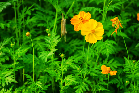 Yellow cosmos sulphureus plant in a flower field it is also stock stock photo yellow cosmos sulphureus plant in a flower field it is also known as sulfur cosmos mightylinksfo