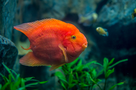 Blood parrot cichlid in aquarium fish tank. It is also known as bloody parrots.