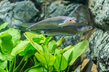 Phalacronotus bleekeri en pecera de acuario. También se le conoce como pez sheatfish. Foto de archivo