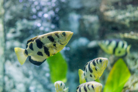 Toxotes chatareus in aquarium fish tank. It is also known as Archer fish, Blowpipe fish, Seven-spot archerfish or Largescale archerfish. 版權商用圖片