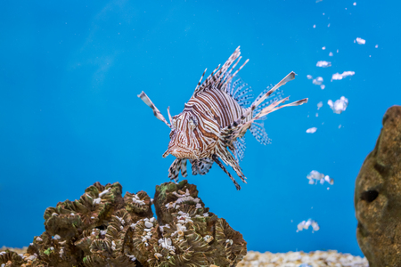 Pterois volitans with stones in aquarium fish tank. It is also known as red lionfish. Stock Photo