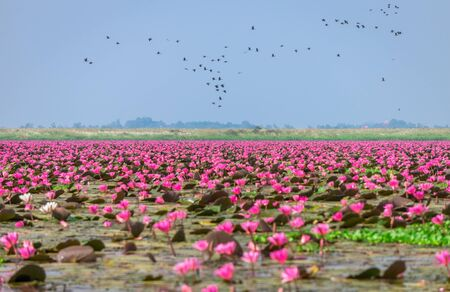 Red water lilies sea and water birds at Nong Han marsh. The travel destination for tourism in Kumphawapi district, Udon Thani, Thailand.