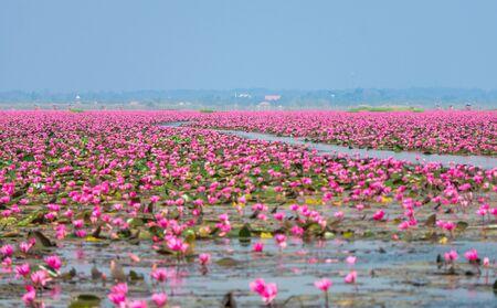 Talay Bua Daeng ou mer de nénuphar rouge au marais de Nong Han. La destination de voyage pour le tourisme dans le district de Kumphawapi, Udon Thani, Thaïlande.