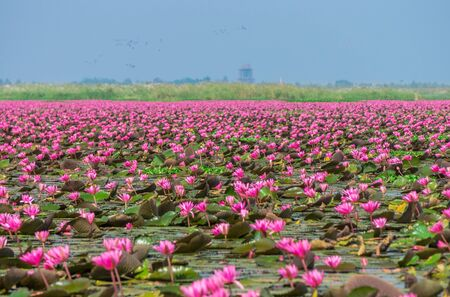 Talay Bua Daeng or Red water lily sea at Nong Han marsh in Kumphawapi district, Udon Thani, Thailand. The binomial name of this plant is Nymphaea pubescens Willd. Stockfoto