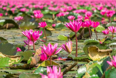 Red indian water lily flowers at Nong Han marsh in Kumphawapi district, Udon Thani, Thailand. The binomial name of this plant is Nymphaea pubescens Willd.