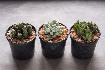Three cactus in pots placed on a cement table photo