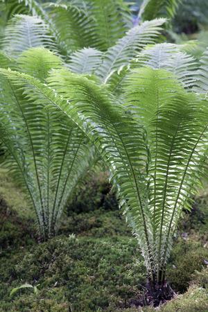 regularity: fern in japanese garden in clingendael the hague Stock Photo