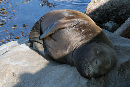 recuperate: California,USA-september 28,208: A sleeping seal on the rocks at pier 39 Editorial