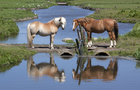 horse love horse kiss animal love: The Hague,netherlands-may 24, 2015: two horses in a meadow with reflection in the water