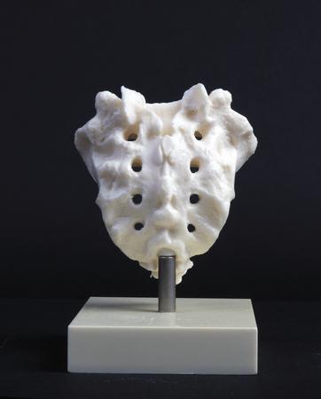 sacrum: the hague, Netherlands-april 10, 2016: Plastic model of a human sacrum Stock Photo