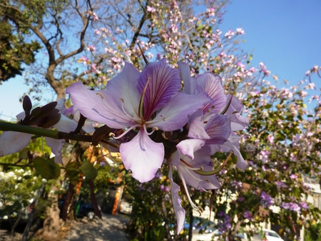 orchid tree: Orchid Tree