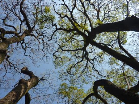 lila: Jacaranda trees in bloom