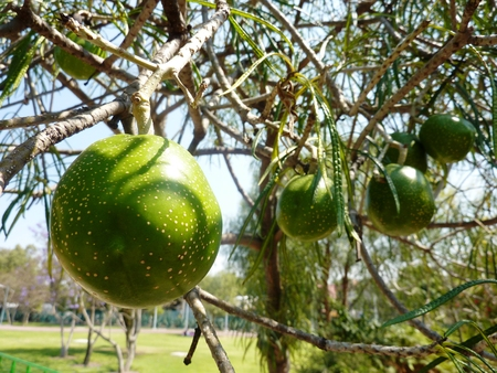 Thevethia tree with its toxic fruit in Mexico