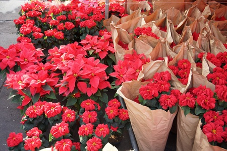 Poinsettias in a market in Mexico