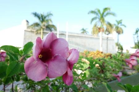 メキシコのカンペチェの美しい都市のサンカルロスの要塞で熱帯の花 写真素材