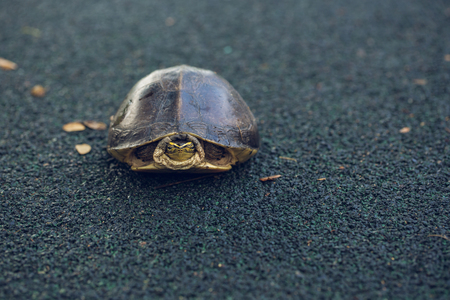 vertebrate: Turtle is shy inside shell on the floor, take head for looking someone. Animal abstract background. Stock Photo